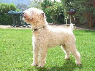 Whoodles Of Raisin Tree – Wheaten Terrier - Dog Breeders