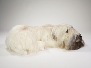 Whoodles Of Raisin Tree – Wheaten Terrier - Dog Breeders