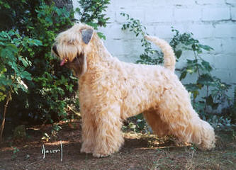 THE SOFT IRISH GENTLEWHEATEN - Dog Breeders
