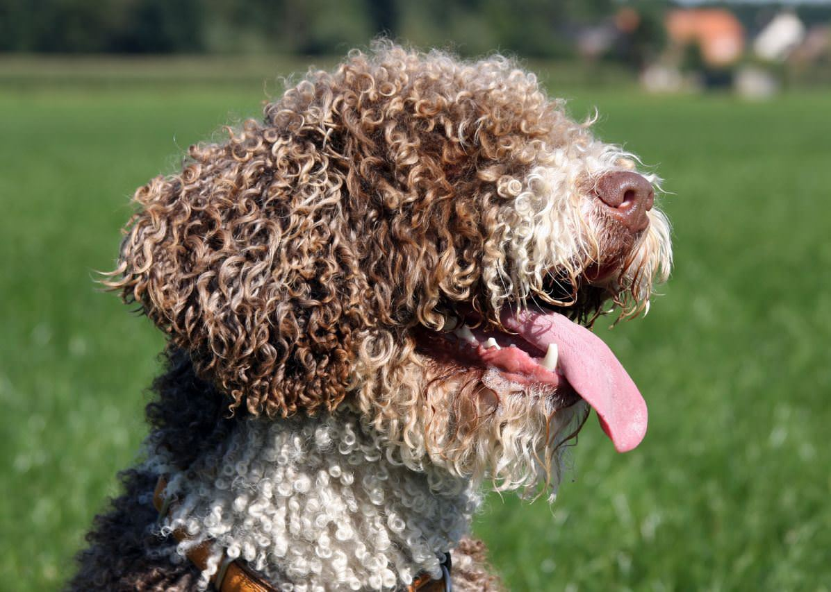 Spanish Water Dog Dogs and Puppies