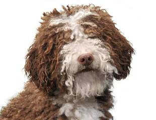 Lija Spanish Water Dogs - Dog Breeders