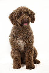O'Reilly Spanish Water Dogs - Dog Breeders
