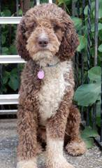 Hampton Village Spanish Water Dogs - Dog and Puppy Pictures