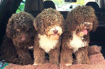 Highview Spanish Water Dogs - Dog Breeders