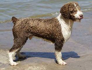 Spanish Water Dog Puppy - Dog Breeders