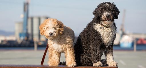 Spanish Water Dog Puppies - Dog Breeders
