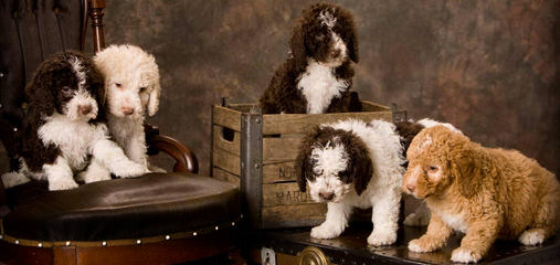 Spanish Water Dogs Of Colorado - Dog Breeders