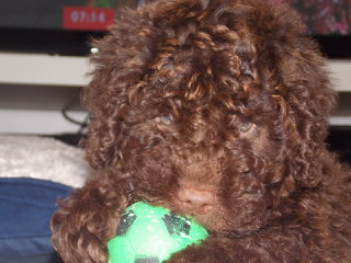 Spanish Water Dog Puppies - Dog Breeders