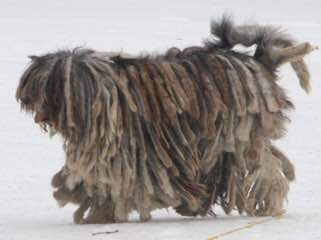 Lija Spanish Water Dogs - Dog Breeders