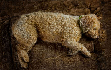 Highview Spanish Water Dogs - Dog Breeders