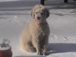 Spanish Water Dog Puppy - Dog Breeders