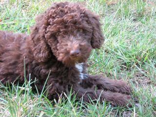Copper Kennel - Dog Breeders