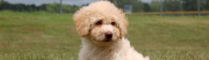 Spanish Water Dog Puppies - Dog and Puppy Pictures