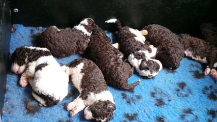 O'Reilly Spanish Water Dogs - Dog and Puppy Pictures