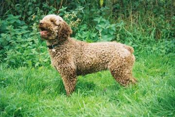 Hampton Village Spanish Water Dogs - Dog Breeders