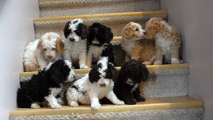 Perfetti's Punkin Patch Swd - Dog Breeders