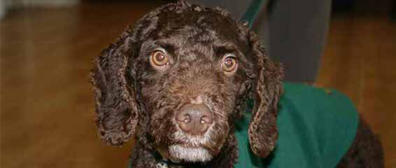 Fundy Bay Spanish Water Dogs - Dog Breeders