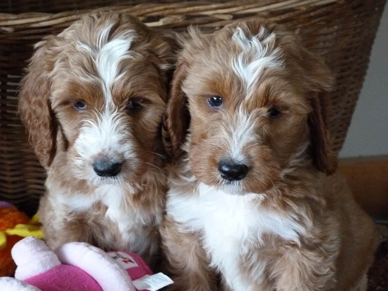 Springerdoodle Dogs and Puppies