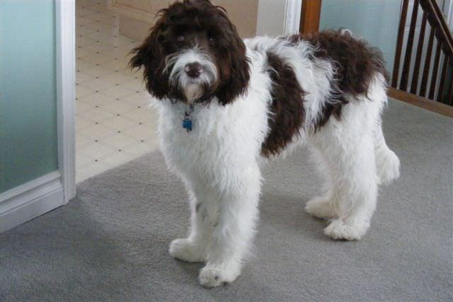 Springerdoodle - My Dog Breeders - Part 45