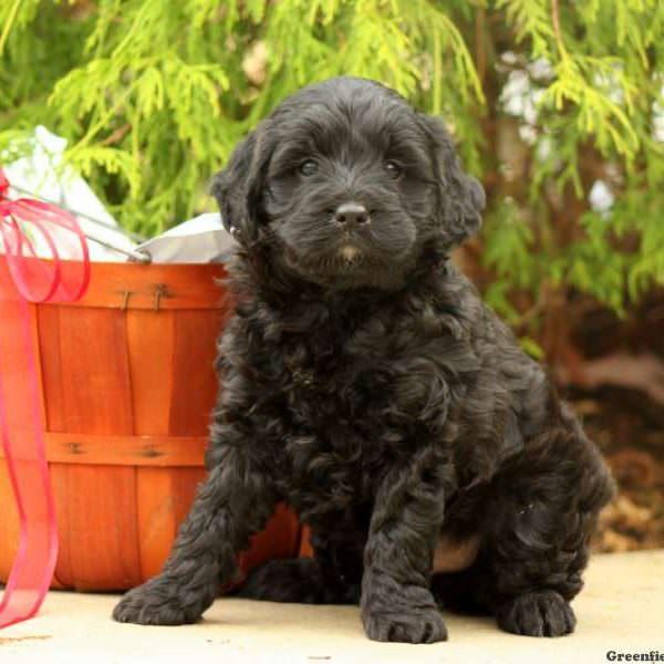 Springerdoodle - My Dog Breeders - Part 77