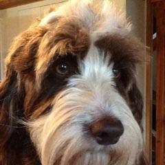 Mini-Springerdoodles! - Dog Breeders