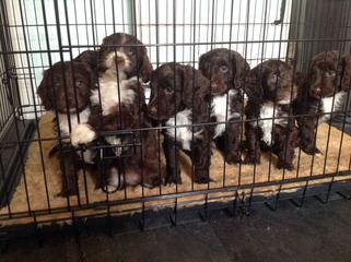 Springerdoodle And Cavapoo Pups - Dog Breeders