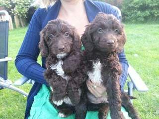 Clanton Doodles - Dog Breeders