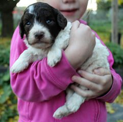 Springerdoodle And Cavapoo Pups - Dog Breeders