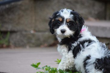 Clanton Doodles - Dog and Puppy Pictures