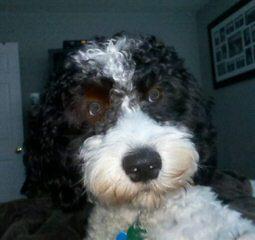Oodles of Springerdoodles - Dog Breeders