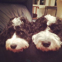 Springerdoodle And Cavapoo Pups - Dog and Puppy Pictures