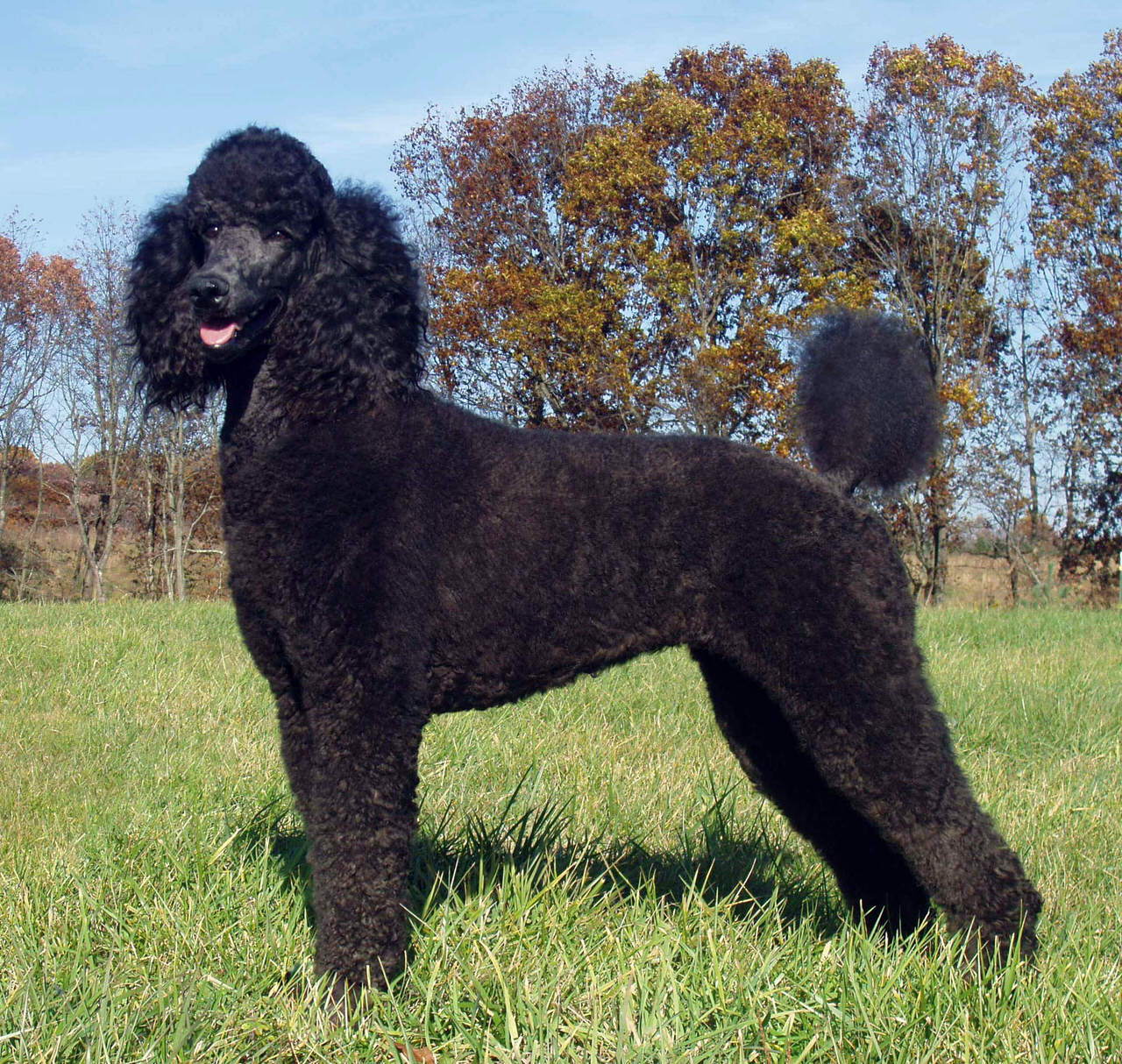 Standard Poodle Dogs and Puppies
