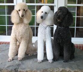 Reyahmi Standard Poodles - Dog Breeders