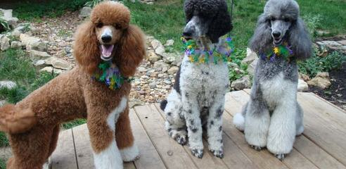 TLC by the Lake Standard Poodle and Doodles - Dog Breeders