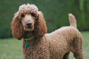 De Medici Poodles Raising Standard Poodles Bred For Temperament - Dog Breeders