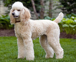 Akc Standard Poodles - Dog and Puppy Pictures