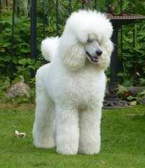 Standard Poodle Stud-Parti Colored - Dog Breeders