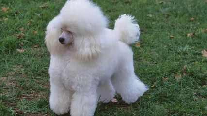 Reeses Pieces Poodles - Dog Breeders