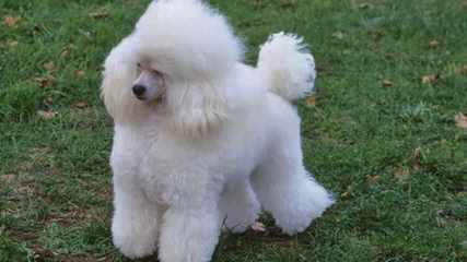 Evensong Poodles - Dog Breeders
