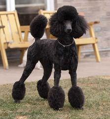 JEMM Standard Poodles - Dog Breeders
