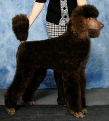 Standard Poodle Puppies - Dog Breeders