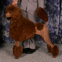 East Tennessee Standard Poodles - Dog Breeders