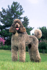 A Patchwork Of Poodles - Dog Breeders