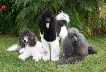 Bunne' Standard Poodles - Dog and Puppy Pictures
