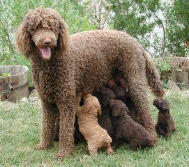 Argan Standard Poodles - Dog Breeders