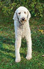 Sage Standard Poodles - Dog Breeders