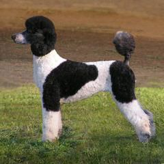 Elite Standard Poodle - Dog Breeders