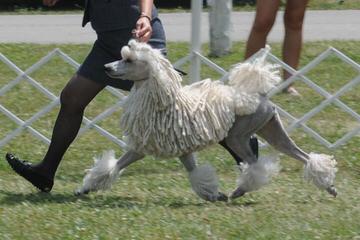 Jem's Majestic Standards - Dog Breeders