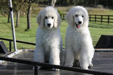 Champion Sired Standard Poodles - Dog Breeders