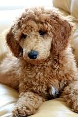 Sage Standard Poodles - Dog and Puppy Pictures
